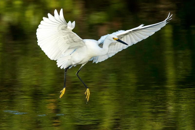 Snow Egret landing