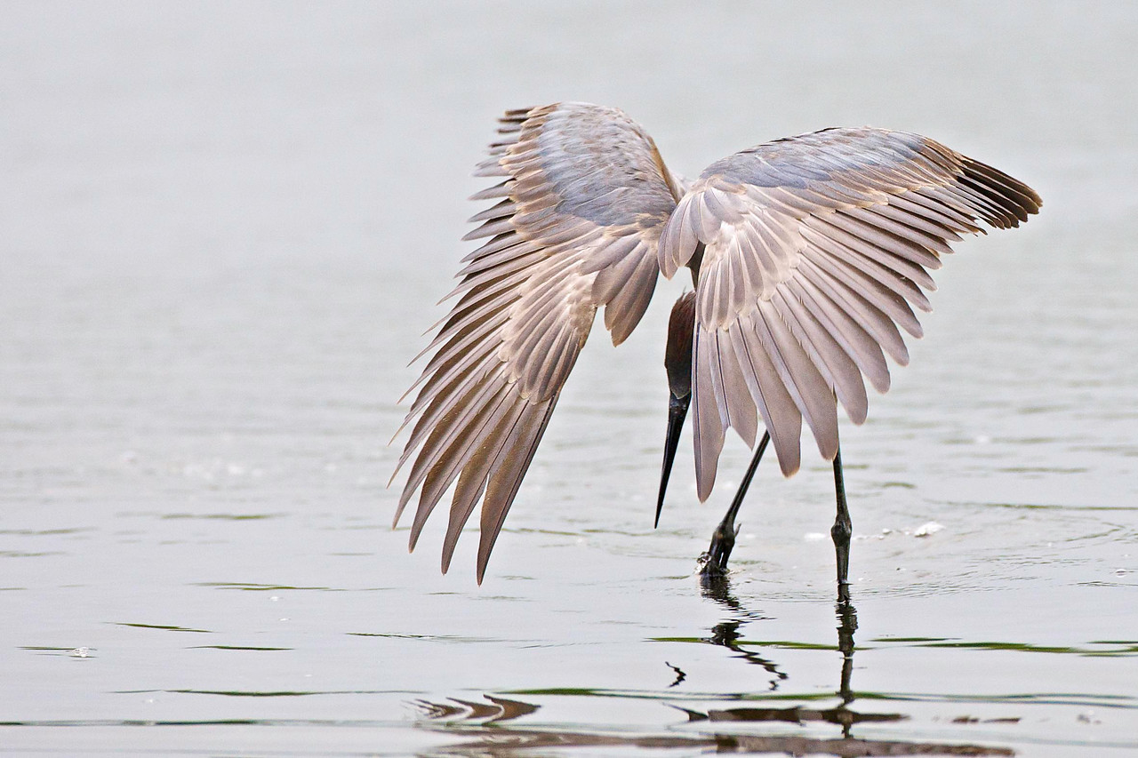 Reddish Egret fishing posture