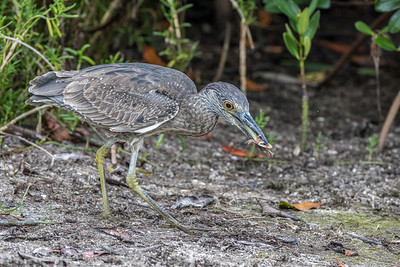 Yellow-crowned Night Heron with crab, Ding Darling NWR