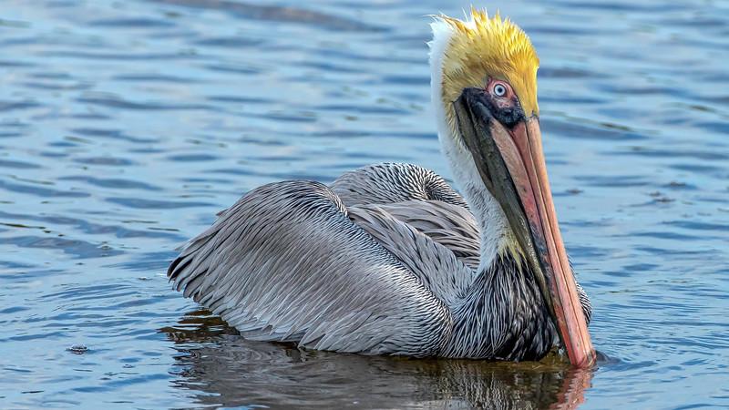 Brown Pelican, adult breeding
