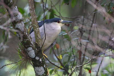 Black-crowned Night Heron, Corkscrew Sanctuary