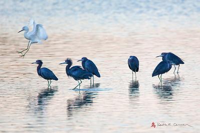 Little Blue Herons including jumping juvenile