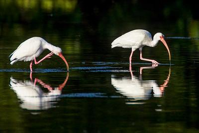 White Ibis, Ding Darling NWR