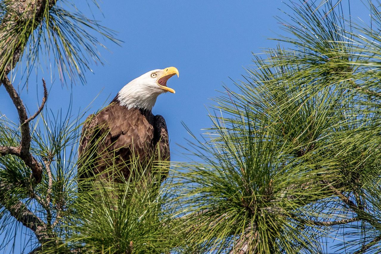 Bald Eagle, female