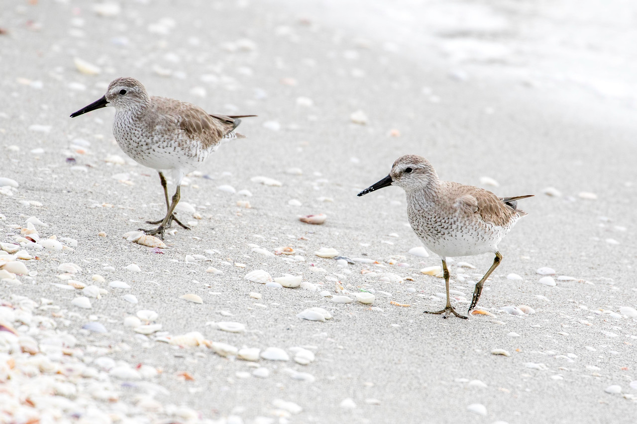 Red Knots, winter plumage