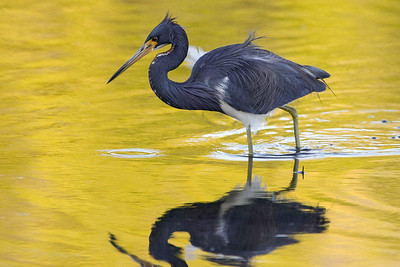 Tri-colored Heron, Ding Darling NWR