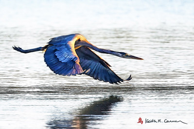 Great Blue Heron in attack mode