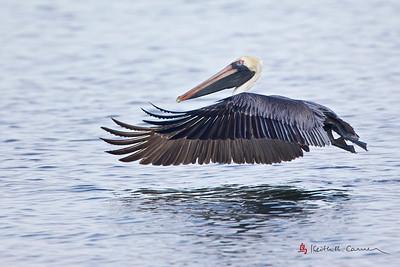 American White Pelican, adult breeding