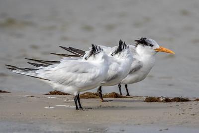 Royal Terns, Bunche Beach