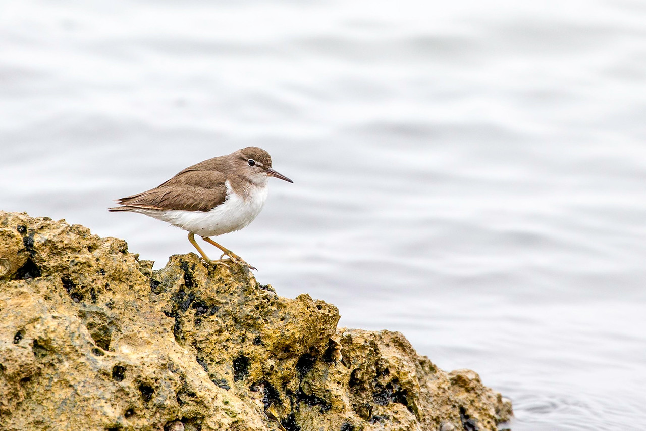 Spotted Sandpiper, winter plumage