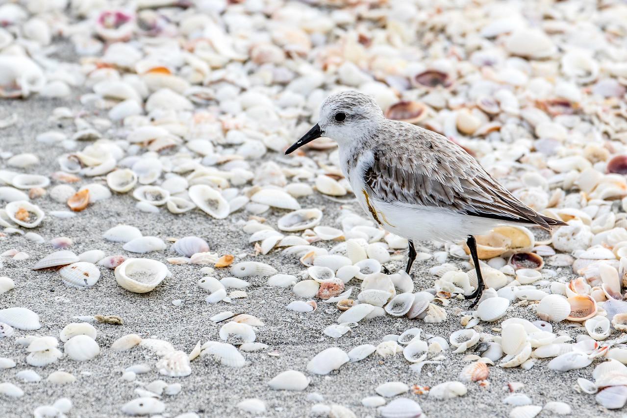 Sanderling, Sanibel beach