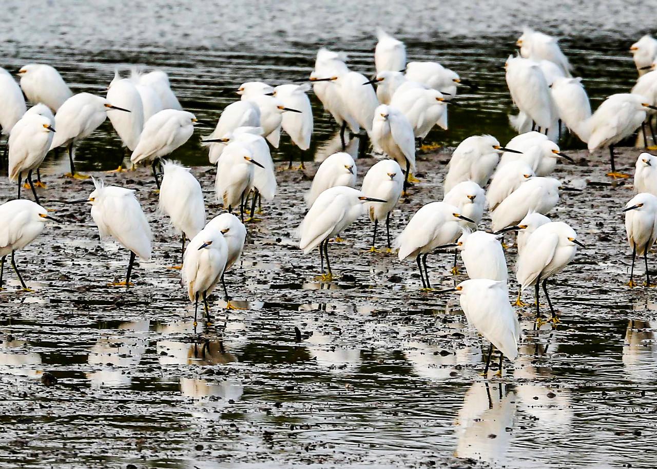 Blizzard of Snowy Egrets