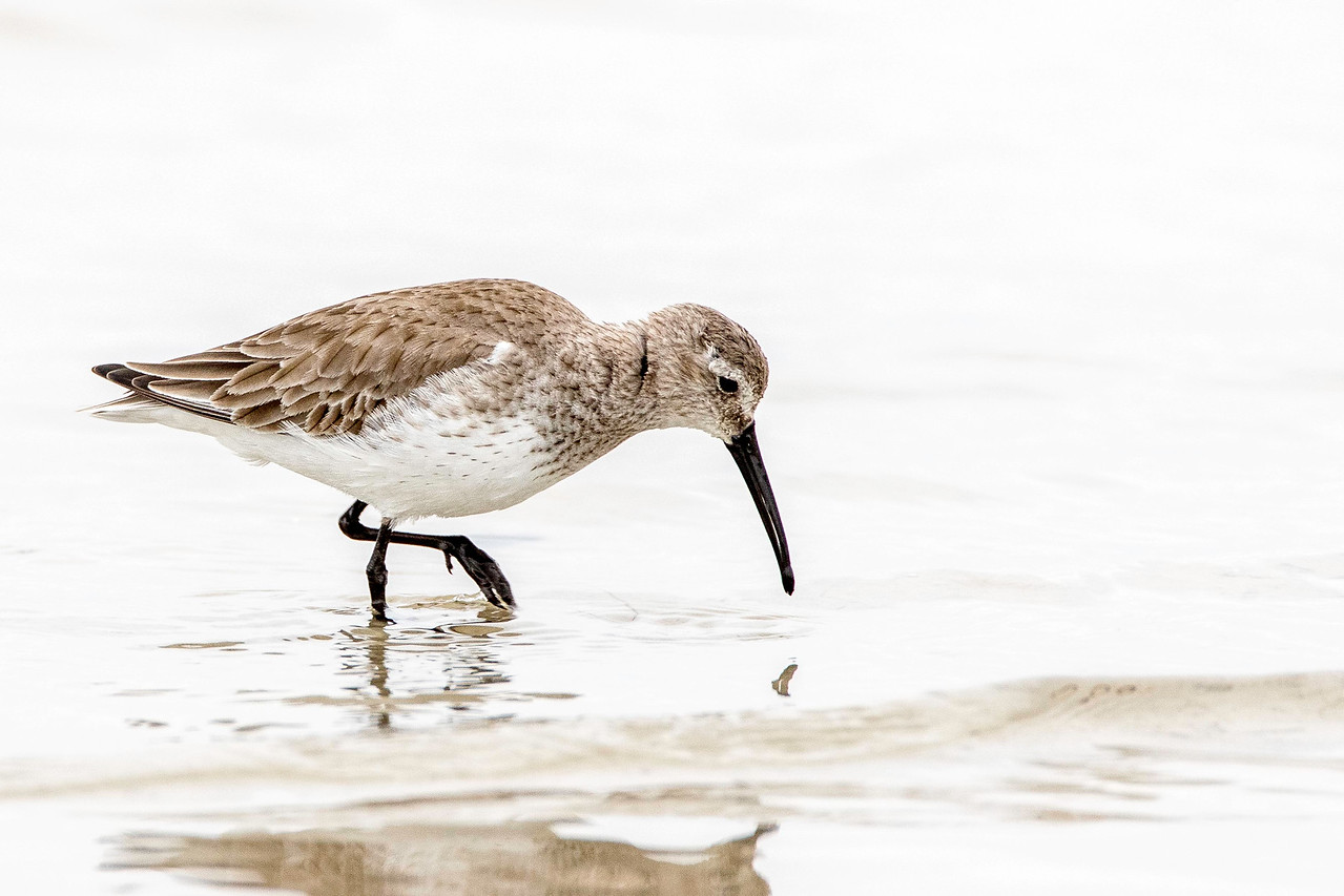 Dunlin, winter plumage
