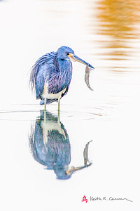 Tri-colored Heron with shrimp