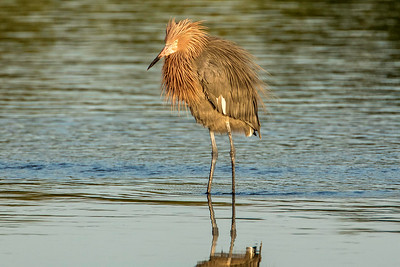 Reddish Egret, breeding plumage