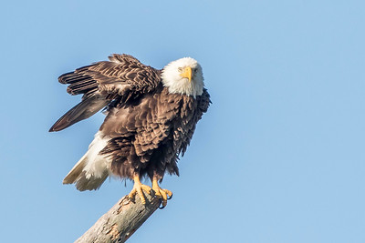 "Bald Eagle ""Harriet"""