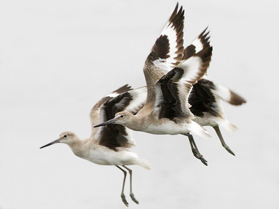 Willets flight, Ding Darling NWR