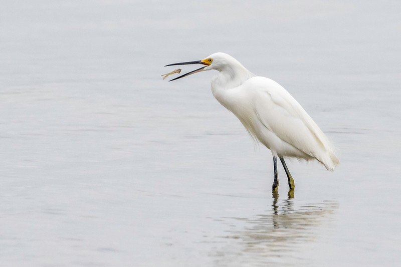 Snowy Egret with prey