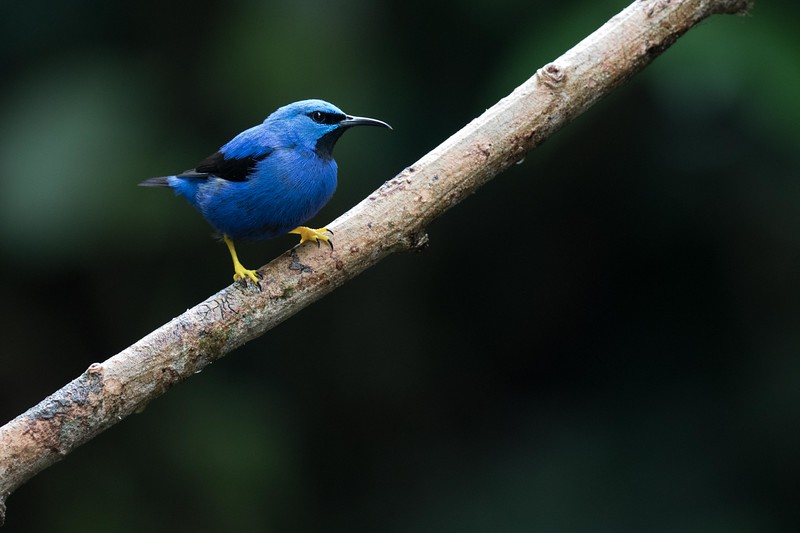 Shining honeycreeper, male