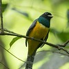 Black-throated trogon, male