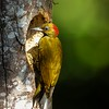 Rufous-winged woodpecker