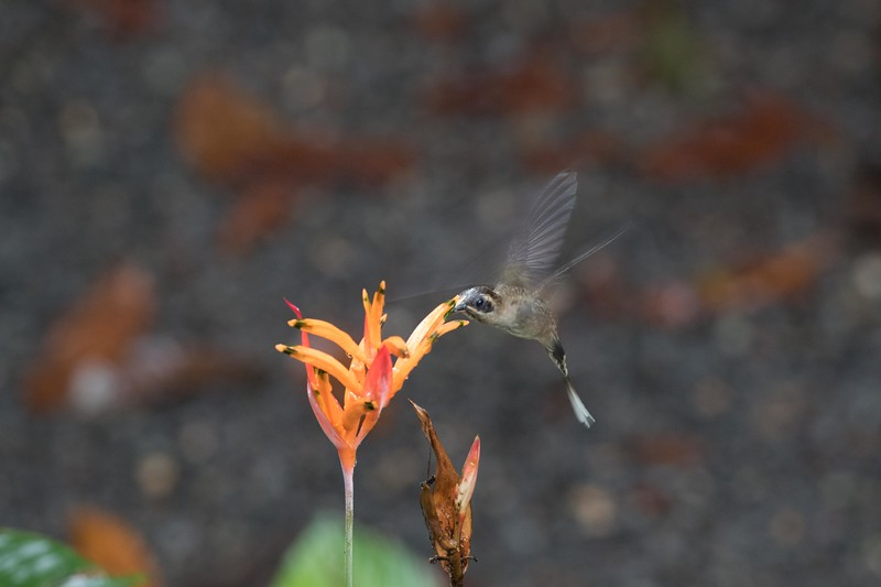 Long-billed hermit
