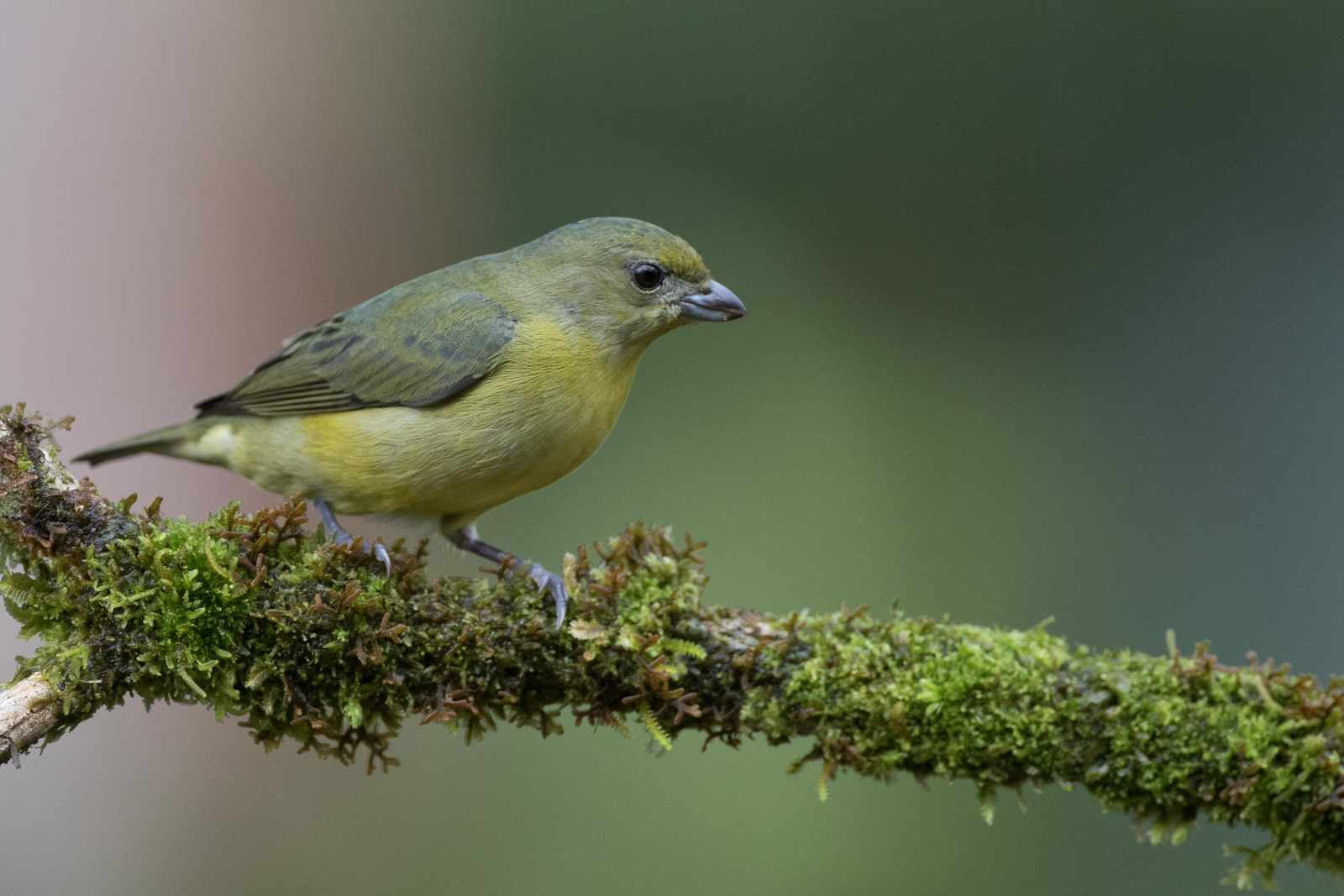 Yellow-crowned euphonia, female