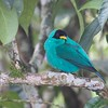 Green honeycreeper, male