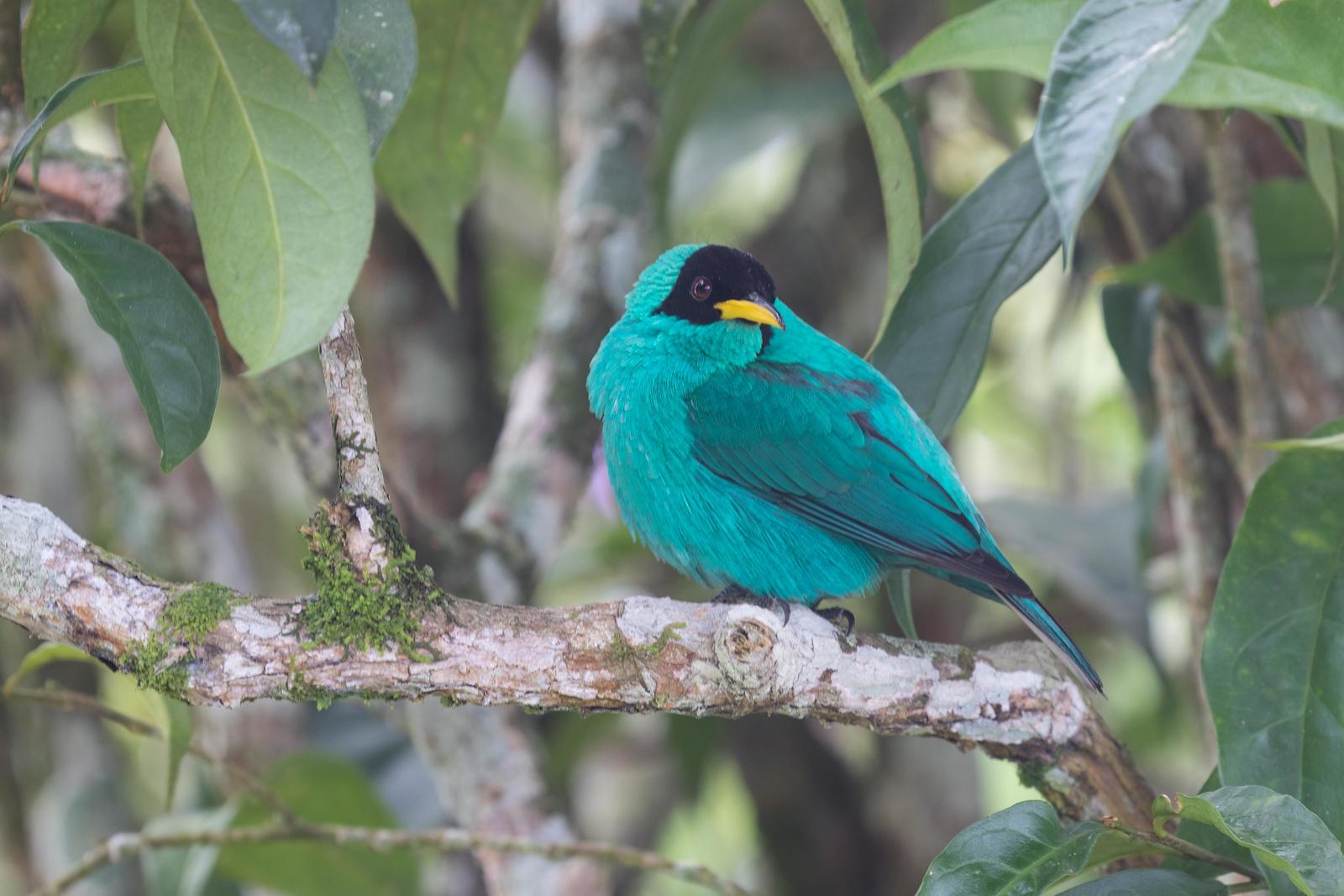 Green honeycreeper, male