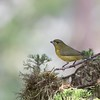 Thick-billed euphonia, female