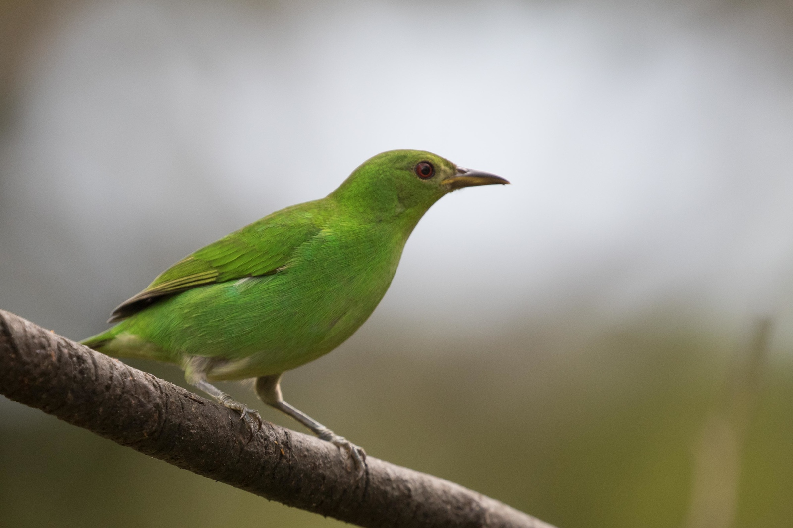 Green honeycreeper, female