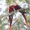 Scarlet macaws preening