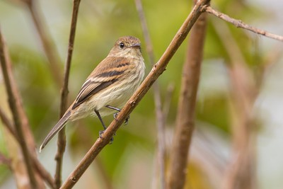 Bran-colored flycatcher