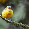 Spot-crowned euphonia, female