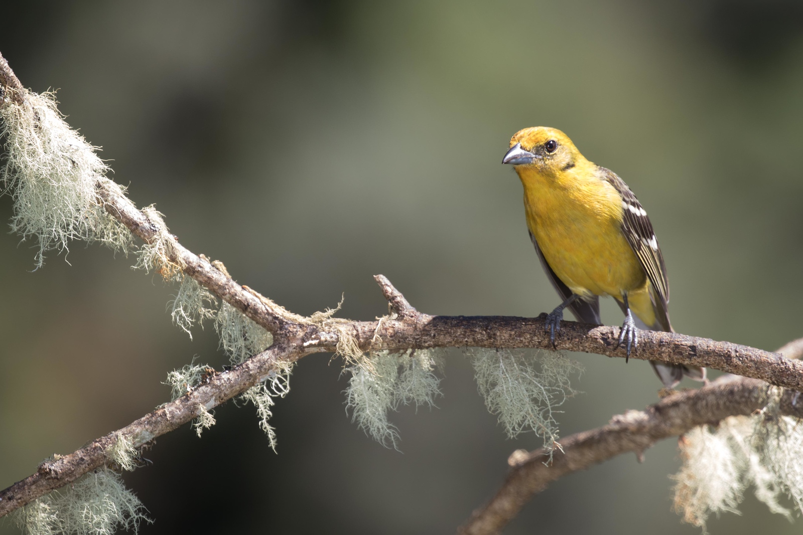 Flame-colored tanager, female