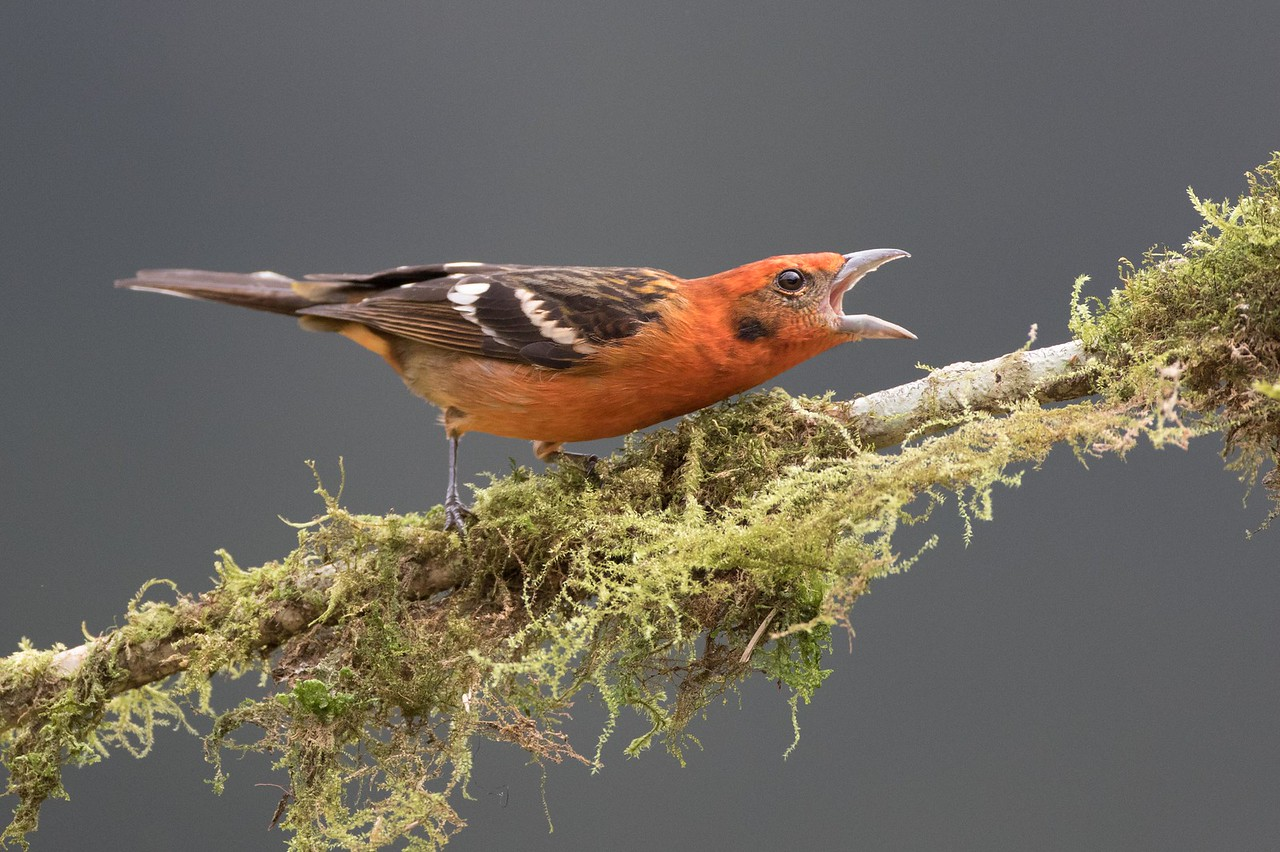 Flame-colored tanager, male