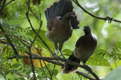 Gray-headed chacalaca