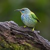Shining honeycreeper, female