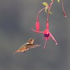 Scintillant hummingbird, female