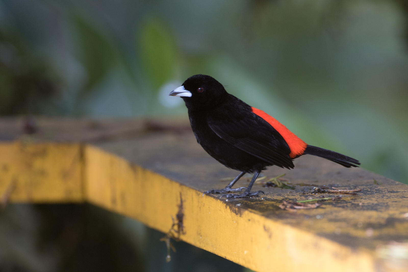 Cherrie's tanager, male