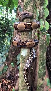 Boa constrictor movie
