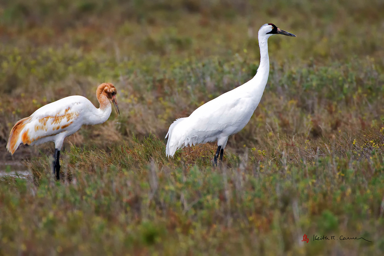 Whooping Crane and juvenile
