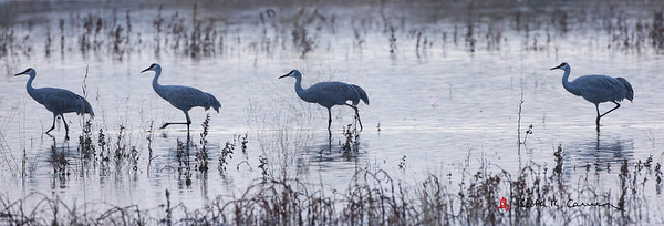 Sandhill Cranes wading at dawn