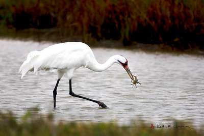 Whooping Crane feeding on Blue Crab