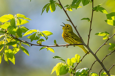 Yellow Warbler, Amherst, May 20, 2014
