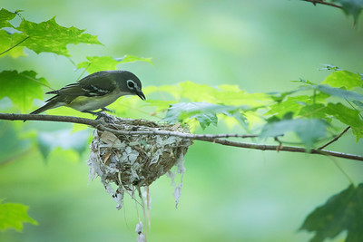 Blue-headed Vireo, Mt. Holyoke, Hadley, May 27, 2014