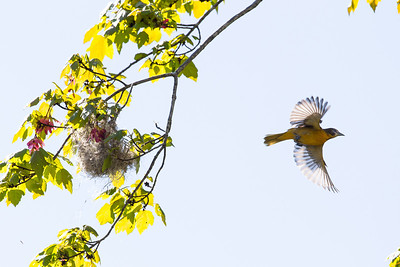 Baltimore Oriole and nest, Amherst, May 21, 2014