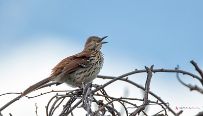 Brown Thrasher, Easthampton, May 5, 2014