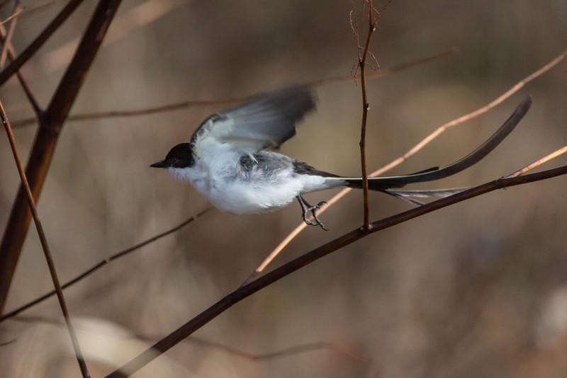 Fork-tailed Flycatcher (Tyrannus savana)