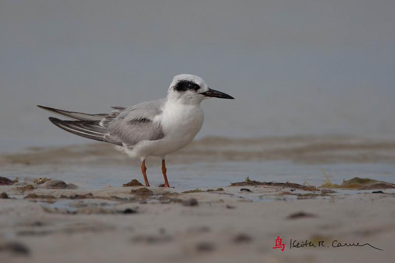 Forster's Tern, non-breeding plumage